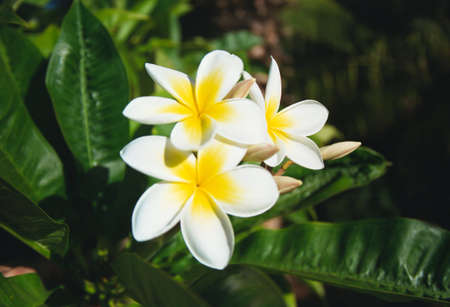 conical: Plumeria Acutifolia Flowers in a tropical garden, Maui. Stock Photo