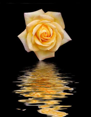 flor de durazno: Yellow Rose con gotitas y la reflexi�n sobre el agua aislados en fondo negro