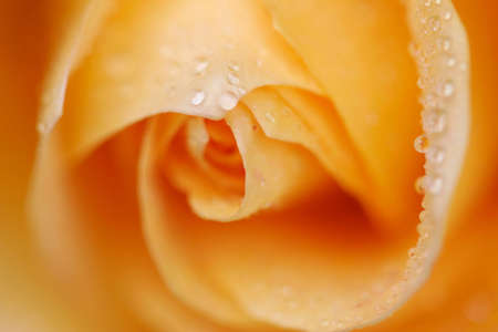 Orange Rose close-up with droplets