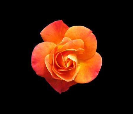 Orange Rose isolated on black background photo