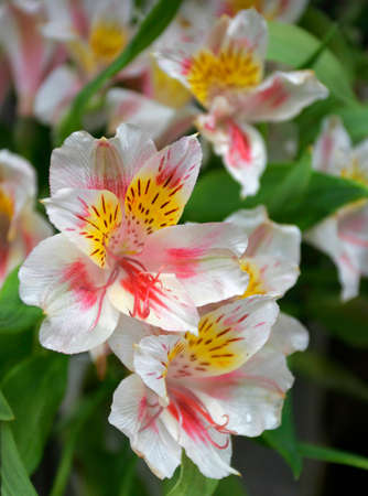 alstroemeria: Bouquet of Alstroemeria flowers