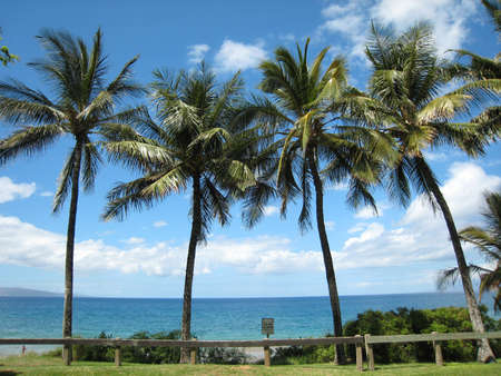 Tall palm trees on beach in Maui