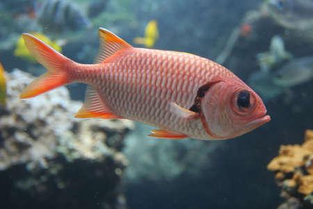 Myripristis murdjan (Red Soldierfish) in tropical waters, Maui