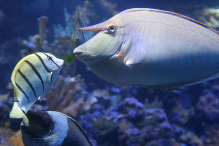 Whitemargin Unicornfish feeding Pearly Soldierfish in Maui tropical waters Stock Photo - 1788444