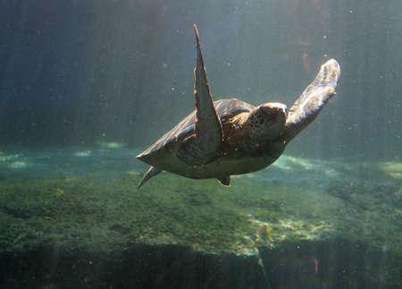 waters: Green Sea Turtle in Maui tropical waters