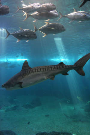 waters: Tiger Shark and Giant Trevelly fish in Maui tropical waters