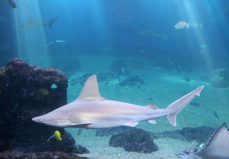 Whitetip Reef Shark in Maui tropical waters Stock Photo - 1788532