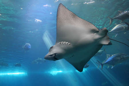 Spotted Eagle Ray and Giant Trevelly fish in Maui tropical waters Stock Photo