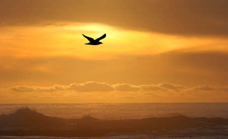 Sillouhette of seagull flying above the ocean at sunset  photo