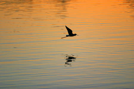 Silhouette of Sandhill Crane flying above the ocean at sunset photo