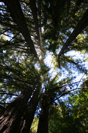 Looking up Tall Trees in Yosemite Forest photo