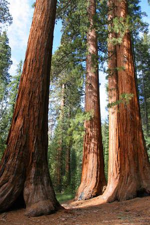 The Bachelor and Three Graces, Mariposa Grove, Yosemite Stok Fotoğraf