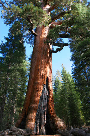 Giant Sequoia in Mariposa Grove, Yosemite photo