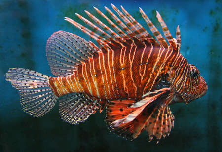 Giant Red LionFish, dangerous and poisonous