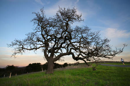 bomen zwart wit: Silhouet van Oak Tree bij zons ondergang  Stockfoto