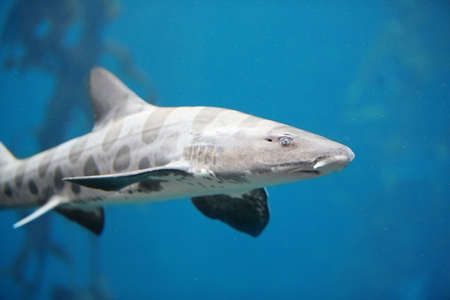bull shark: Menacing Leopard Shark