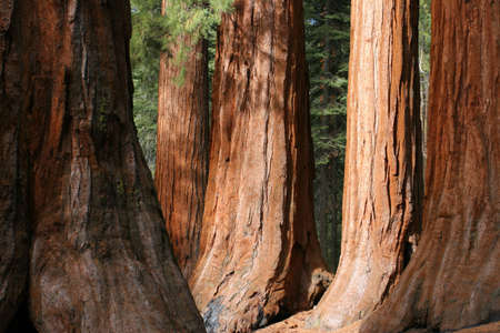 huge: The Bachelor and Three Graces, Mariposa Grove, Yosemite Stock Photo