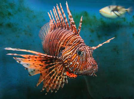 Giant Red LionFish, dangerous and poisonus Imagens - 2816024