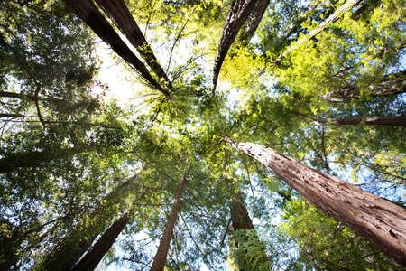 Looking up in Redwood forest Stock Photo