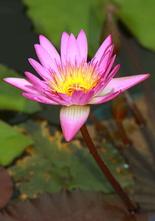 Beautiful Water Lily Stock Photo - 3882233