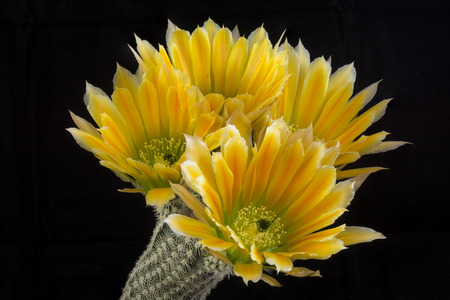 Close up of a Cactus in a pot , with flowers isolated in a black background