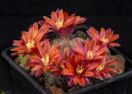 Cactus rebutia albiareolata blooming , Isolated on Black background