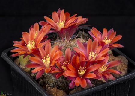 Cactus rebutia albiareolata blooming , Isolated on Black background