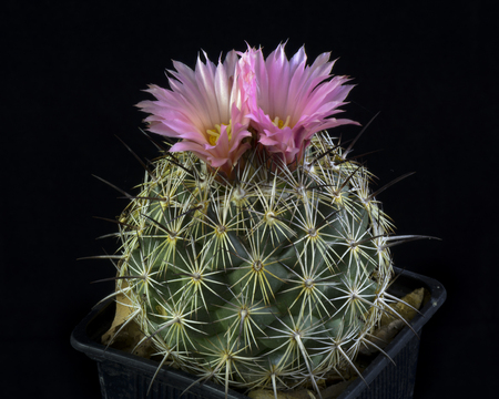 cactus Coryphantha Pseudoechinus Blooming, Isolated on black background Stock Photo
