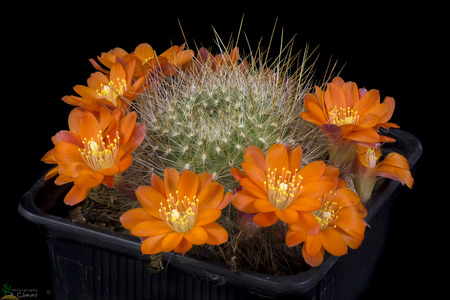 Cactus Rebutia albispina blooming, Isolated on Black background Banque d'images