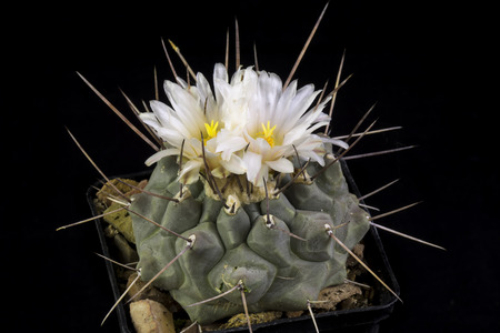 Cactus Thelocactus multicephalus blooming, Isolated on Black background Stock Photo