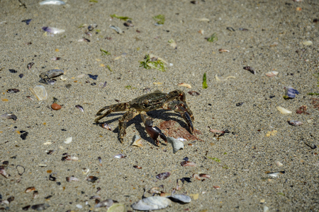 Solitary green crab on the beach , with broken shell and seaweed