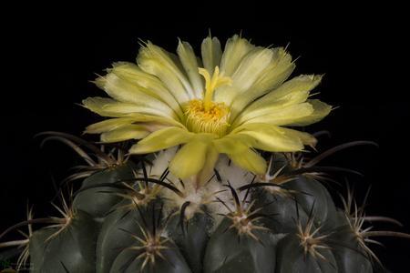 Blooming cactus Coryphantha isolated on black background Stock Photo