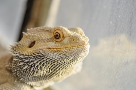 bearded dragon portrait with reflexion on the terrarium window