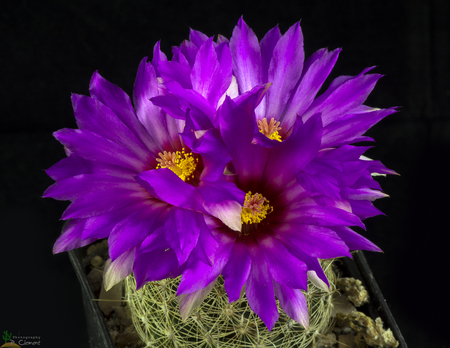 Blooming cactus Thelocactus isolated on black background