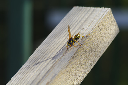 single wasp on timber wood taking the sun