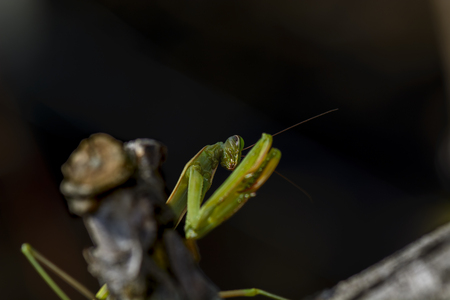 praying mantis on a branch against blurry background