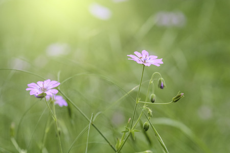 Wild pink flowers isolated on blurry green background Stock Photo