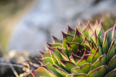 succulent plant Sempervivum against a blurry background