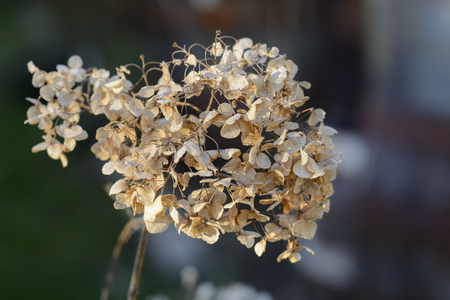Close up of a dried hortensia against blurry background Stock Photo