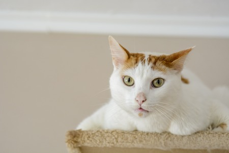 White cat being interrogative looking at the camera