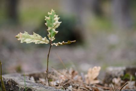 Sapling of oak tree isolated on blurry background Stock Photo