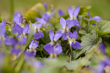 group of Wild viola against blurry background