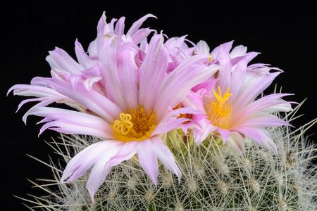 Cactus Thelocactus macdowellii  with flower isolated on Black Stock Photo