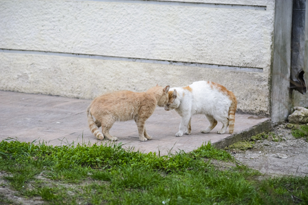two street big cat intimidating each other before fighting.white and orange cat intimidating beige cat