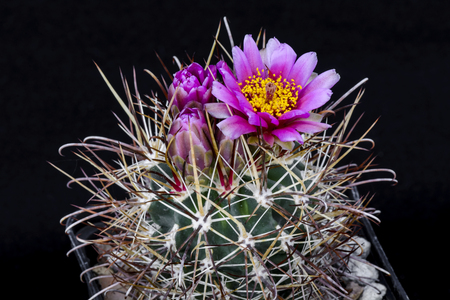 Cactus Sclerocactus parviflorus with flower isolated on Black