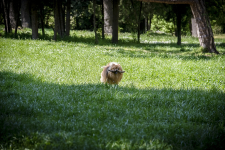 German spitz playing with a wooden branch in a park