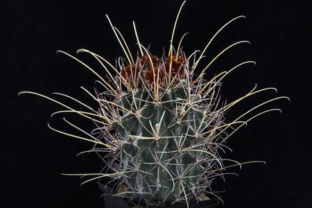 Cactus Glandulicactus uncinatus wrightii with flower isolated on Black