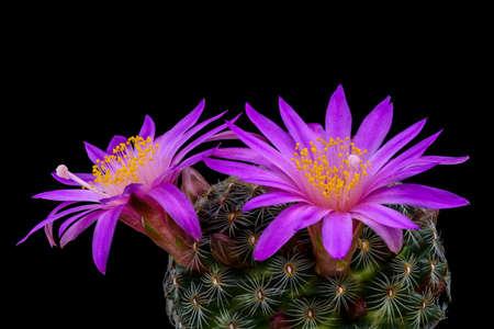 Cactus Mammillaria dehertiana with flower isolated on Black