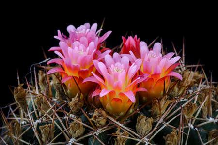 Cactus Oroya neoperuviana with flower isolated on Black