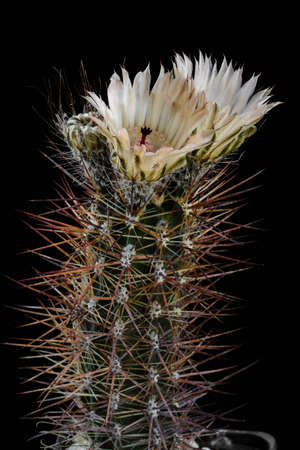 Cactus Austrocactus patagonicus with flower isolated on Black Stock Photo